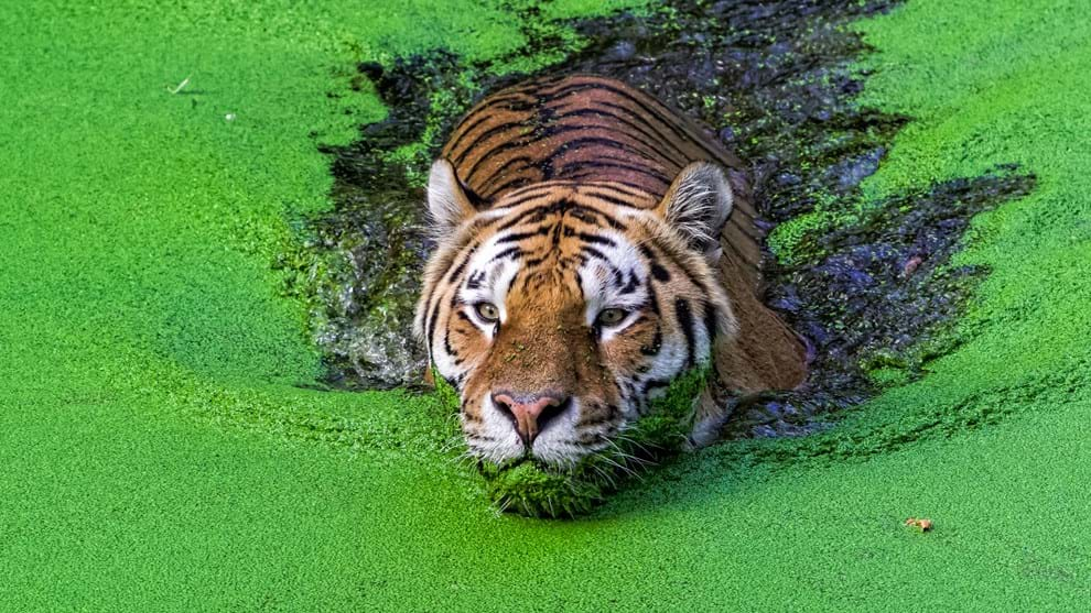 Tiger Sundarbans